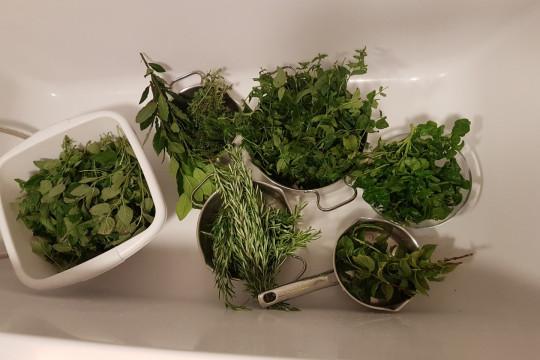 Myjemy zebrane zioła działkowe pod bieżącą wodą.