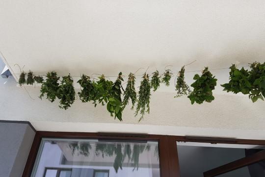 Suszymy zioła na balkonie.